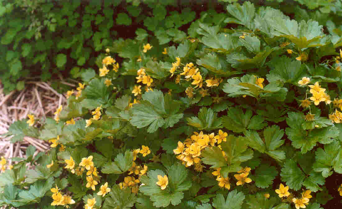 Perennials biennials perennial 3 6 inches part sun to part shade moist to dry soil blooms may habitat woods and clearings mightylinksfo